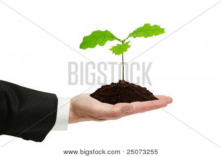Small sprout of oak in the hand of businessman isolated on the white background.