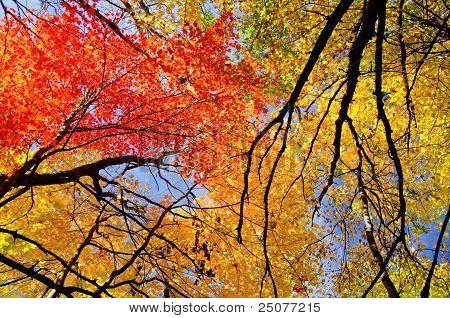 Colorful Maple Treetops, Autumn