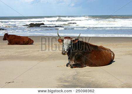 Nguni Cows Lying On A Beach