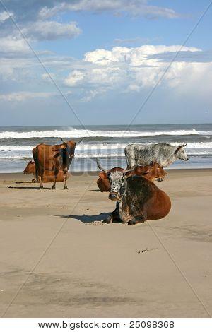 African Nguni Cows On Beach
