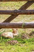 Beautiful Stray Orange Long-haired Tabby Cat Resting In The Grass Under A Wood Fence On A Hot Sunny  poster