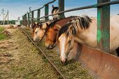 Hungry Horses Want To Eat, Eat From The Trough poster