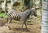 pic of fynbos  - a zebra live  in Thailand nation  zoo - JPG