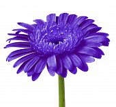 Flower Indigo Blue Gerbera Isolated On A White  Background. Close-up. Flower Bud On A Green Stem. poster