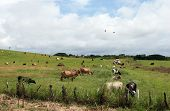 stock photo of feedlot  - Cows grazing in a field as birds fly around - JPG