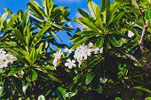 Close-up Of Beautiful Subtropical Frangipani Plant Shot In Queensland, Australia In Summer poster