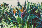 Close-up Of Beautiful Subtropical Strelitzia Bird Of Paradise Plant Shot In Queensland, Australia In poster