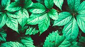 Green Leaves. Green Leaves Background Texture. Creative Layout Made Of Green Leaves. Flat Lay. Natur poster