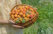 Ripe Apricots With Green Leaf In Wicker Basket poster