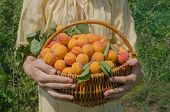 Apricots In Basket poster