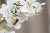 Bee On A Cherry Blossoms. Spring Floral Background. Cherry Flowers Blossoming In The Springtime. poster