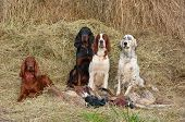 stock photo of english setter  - Four gun dog resting after the hunt beside a shotguns and pheasants in front of a hay horizontal - JPG