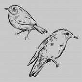 stock photo of nightingale  - Hand drawn birds - JPG
