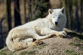 The Arctic Wolf (canis Lupus Arctos), Also Known As The Melville Island Wolf. Wolf Lying At Rest. poster