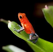 stock photo of terrarium  - red poison dart frog blue legs beautiful rainforest species of costa rica and panama kept as a pet in a terrarium - JPG