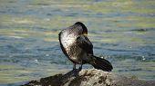 Bird Russia Altai Nature River Wild Bird Sea Bird Cormorant Water Swim Summer Dive Animal Waterfowl  poster