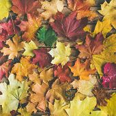 Fall Background, Texture And Pattern. Flat-lay Of Colorful Yellow And Red Fallen Maple Leaves Over W poster