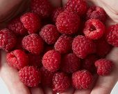 Close-up ripe sweet ripe raspberries in womens hands. Top view poster