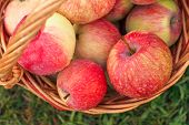 Red Ripe Apples In A Wicker Basket On Green Grass In The Orchard. Fresh Ripe Apples In The Summer Ga poster
