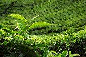 Постер, плакат: Новый стенд листьев чая в чайной плантации утром