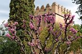 pic of judas tree  - Judas tree in bloom in Alhambra gardens in Granada Spain