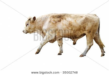 Isolated yearling cow beef cattle