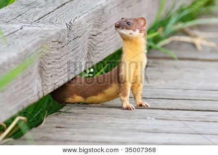 Flexible Weasel