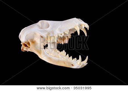 Skull of a coyote (canis Latrans) on a black background with jaw open