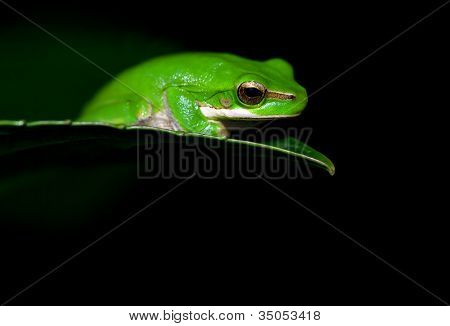 little dwarf green tree frog on the end of a leaf