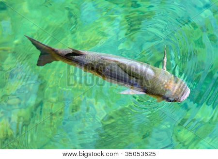 Big Thicklip grey mullet ( Chelon labrosus ) in pure water of The Adriatic sea. Close up with shallow DOF.