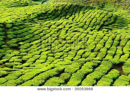 Malaysia, Cameron Highlands, Tea Plantation