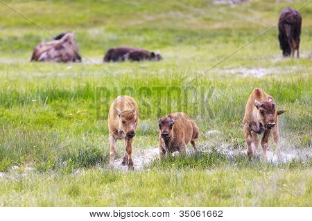 Wild Bison Calves At Yellowstone