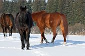 picture of shire horse  - Herd of standing horses in the winter - JPG