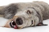 stock photo of hairy tongue  - Irish Wolfhound resting on a white background - JPG