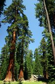 stock photo of redwood forest  - log cabin and large sequoias in yosemite national park - JPG