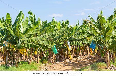 Banana Plantation Australia