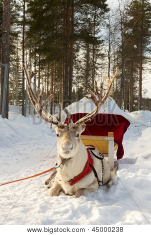 Reindeer In Harness