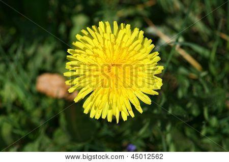 Dandelion   ( Taraxacum Sect Ruderalia)