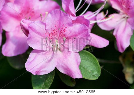 Rhododendrons  (rhododendron)