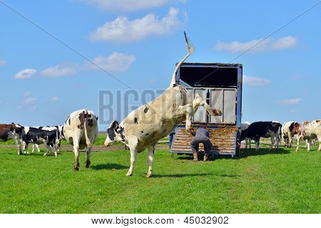 cow is jumping in green meadow