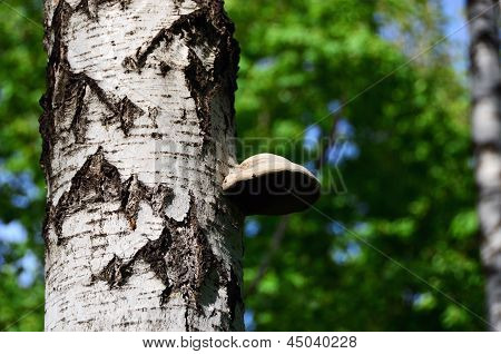 Wild Mushroom Growing On A Birch Tree In The Forest