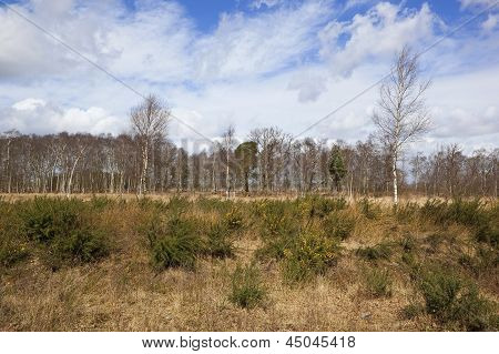 Birch Trees And Gorse
