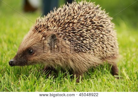Hedgehog in forest on the grass , close up