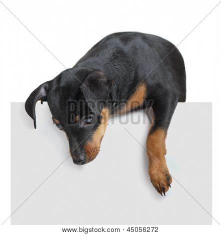 Dog hold empty paper isolated on white background