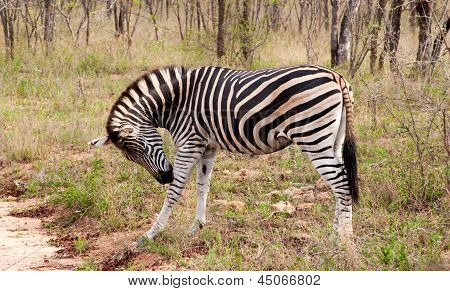 Wild Striped Zebra  In National Kruger Park In South Africa,natural Themed Collection Background, Be