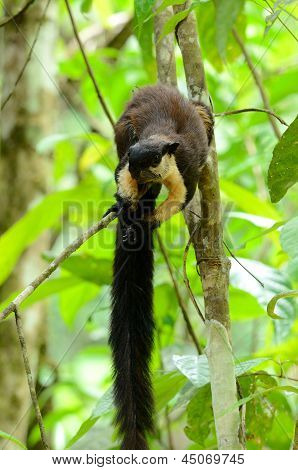 Black Giant Squirrel (ratufa Bicolor)