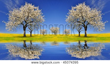 Blooming cherry trees in spring landscape