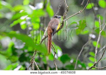 Female Orange-breasted Trogon (harpactes Oreskios)