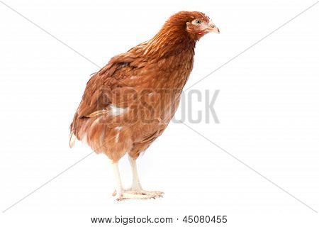 Young Pullet Isolated