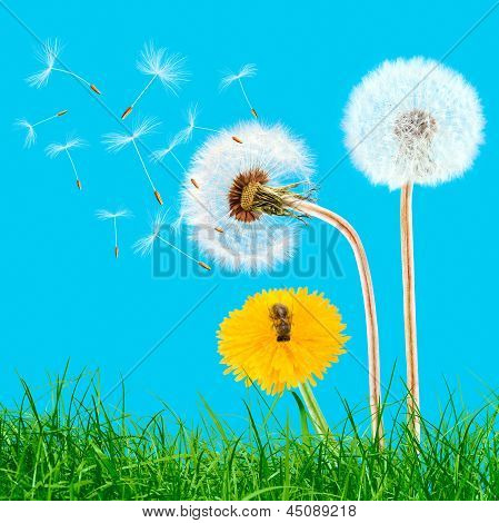 Overblown And Yellow Dandelions In The Grass On The Blue Sky